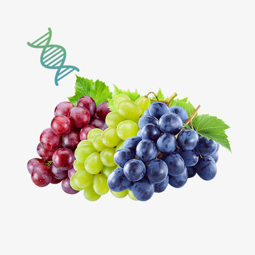 Grape Stem Cell Contract Manufacturing Malaysia | OEM COMPANY MALAYSIA